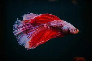 Artemia Sebagai Makanan Alami untuk Ikan Cupang